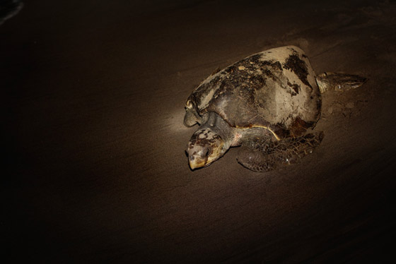 NEON sea turtle