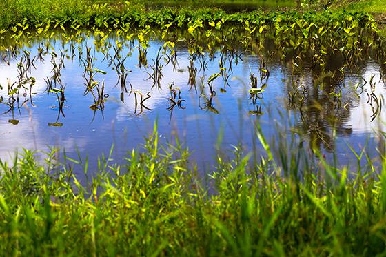 taro field