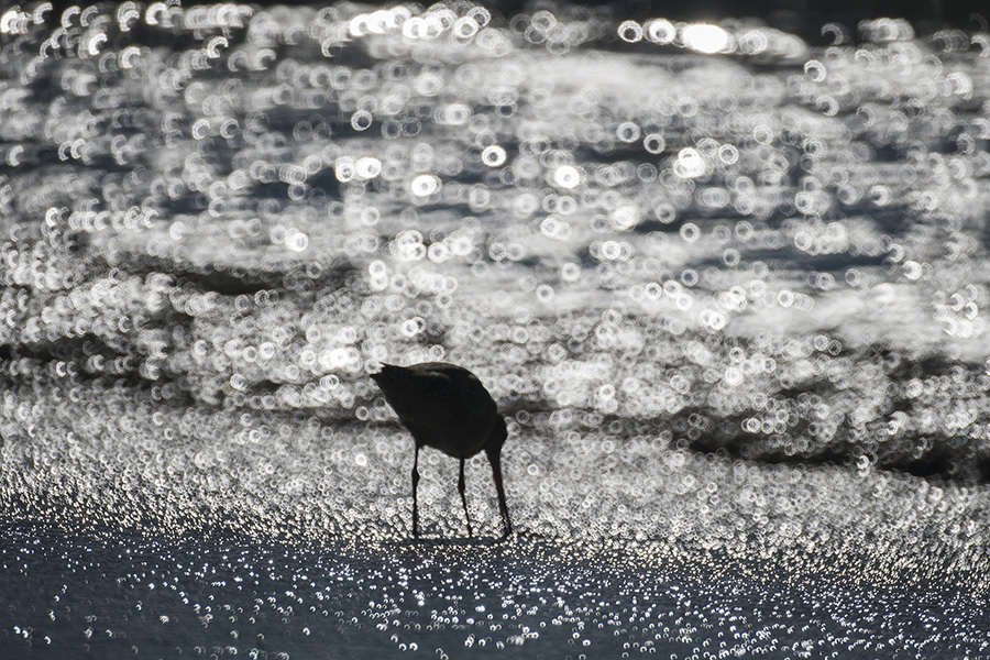 A Marbled Godwit searches for lunch on Moss Landing State Beach near Monterey, Calif.